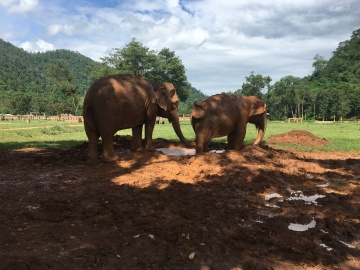 Even old geriatric (70+) elephants like playing in the mud with friends. The center tries to pair up rescue/retired elephants with friends as much as possible.